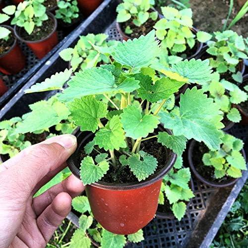 Agastache Rugosa Bonsai Rare Patchouli Blue Licorice Bonsai Indian Mint Purple Giant Hyssop Bonsai For Home Garden100 Pcs