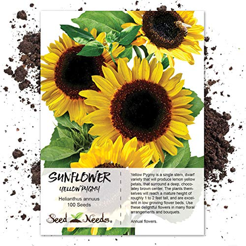 Sunflower Sowing Seeds (Seed Needs, Yellow Pygmy Sunflower (Helianthus annuus) 100 Seeds Non-GMO)