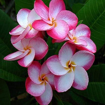 Amazoncom Meiguisha Gartensamen 50 Pcs Zitronenduft Plumeria Erde