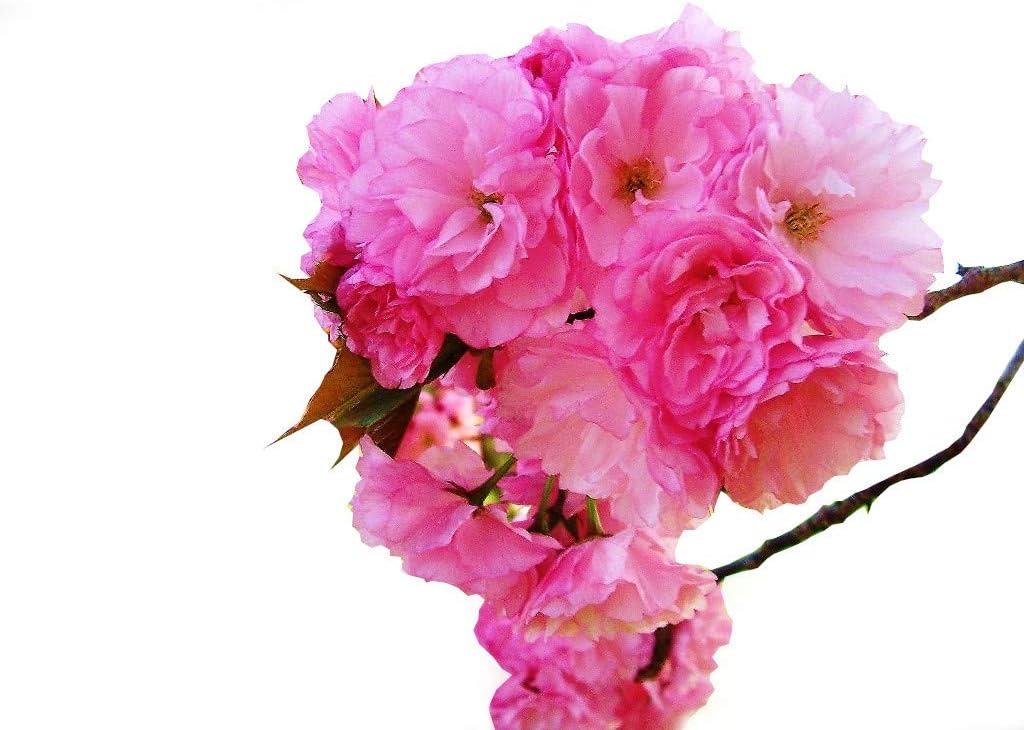 Amazon Com Weeping Flowering Cherry Tree Higan One Trade