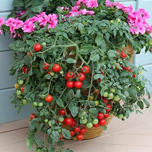 Tumbling Tom (Organic) Tomato 150 Seeds By Jays Seeds