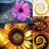 Portal Cool White: 30Pcs Daisy English Seeds Pomponette Mix Bellis Perennis Kftrr