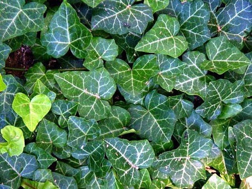 English Ivy 48 Plants - Hardy Groundcover - Sun or Shade -1 3/4'' Pots by Hirts: Vines & Groundcovers