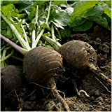 buy Package of 500 Seeds, Black Spanish Radish (Raphanus sativus) Non-GMO Seeds By Seed Needs now, new 2018-2017 bestseller, review and Photo, best price $3.65
