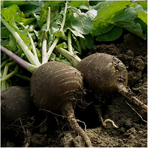 Package of 500 Seeds, Black Spanish Radish (Raphanus sativus) Non-GMO Seeds By Seed Needs (Black And Spanish)