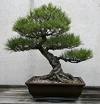 15 Seeds Pinus Thunbergii (Japanese Black Pine) Bonsia