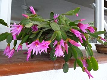 Amazon hatiora rosea rose easter cactus stunning pink amazon hatiora rosea rose easter cactus stunning pink flowers rare 5 seeds garden outdoor mightylinksfo