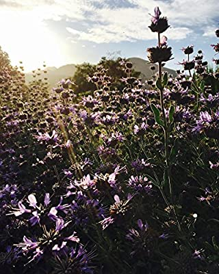 All Good Things Organic Seeds Purple Sage (Salvia leucophylla) Seeds (~50): Certified Organic, Heirloom, Open-Pollinated, Non-GMO
