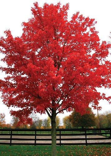 TROPICA   Acero Rosso (Acer Rubrum)   20 Semi  Magic Tropical
