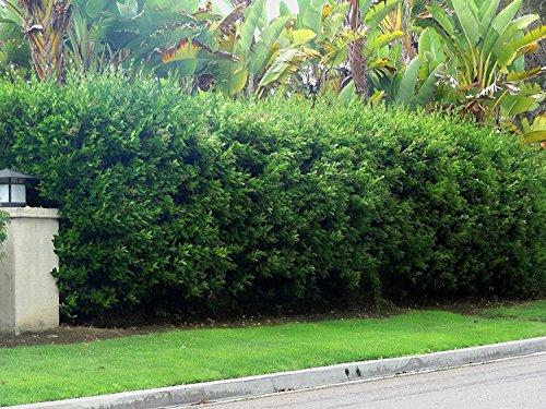 Ligustrum Waxleaf Privet - 60 Live Plants 2'' Pot Size - Evergreen Privacy Hedge by Florida Foliage (Image #1)