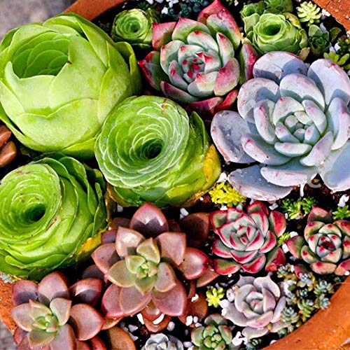 (#58-Purple Pearl: Succulent Seeds lithops Rare Living Stones Plants Cactus Plant Garden 100pcs/bag)