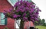 Catawba Purple Crape Myrtle Tree - Live Plant - Trade Gallon pot