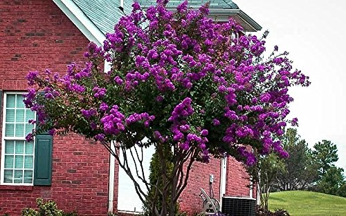 Catawba Purple Crape Myrtle Tree - Live Plant - Trade Gallon Pot by New Life Nursery & Garden