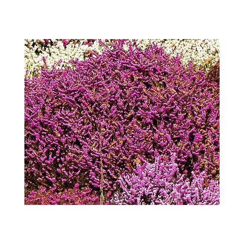 CALLUNA SCOTCH HEATHER Calluna Vulgaris - 200 Bulk Seeds supplier