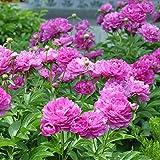 Potato001 10Pcs Paeonia Lactiflora Flower Seeds Chinese Herbaceous Peony Garden Home Plant