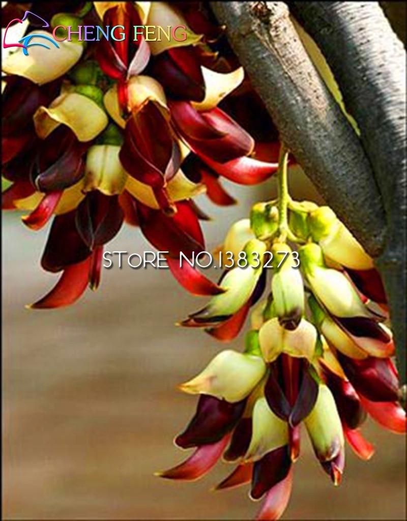 Bester Verkauf !!! 100pcs neue Ankunfts-Mucuna Birdwoodiana Samen Home Garten Seltene Blumen-Baum-Samen