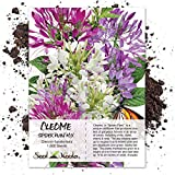 Seed Needs, Cleome Mixture (Cleome hassleriana) 1,500 Seeds