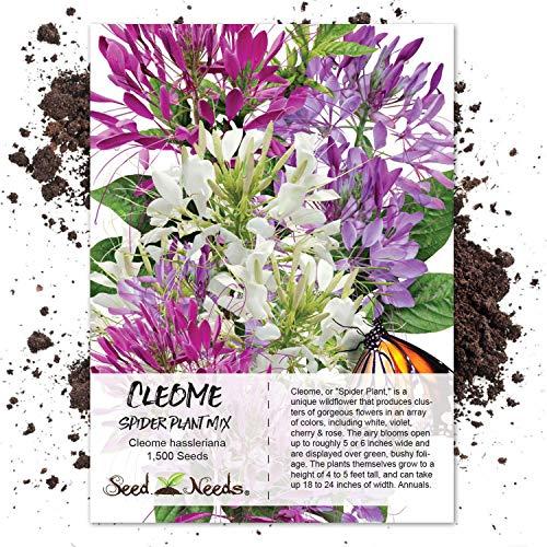 Seed Needs, Cleome Mixture (Cleome hassleriana) 1,500 Seeds