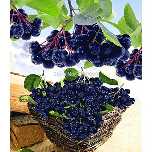 Wholesale .50 Seeds/Pack.Annual Fruit and Vegetable Seeds Aronia Viking.DIY Home Garden&Bonsai Seeds. free shipping