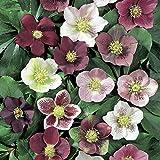 SUPER SALE Royal HeritageTM Lenten/Christmas Rose - Helleborus -Shade- Gallon Pot