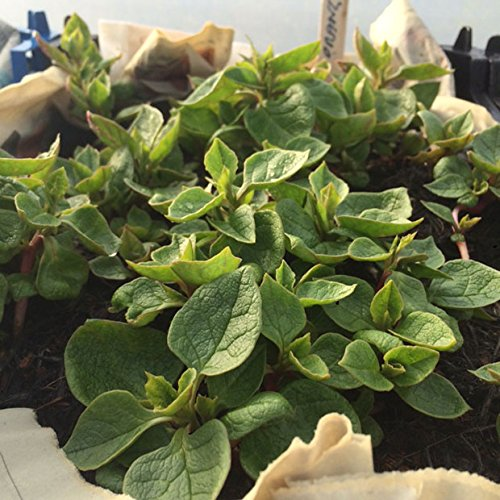 Ten Ulluco Tubers - Organically Grown (Ullucus tuberosus) AKA Earth Gems - papa lisa - olluco - melloco - ruba - chugua (10)