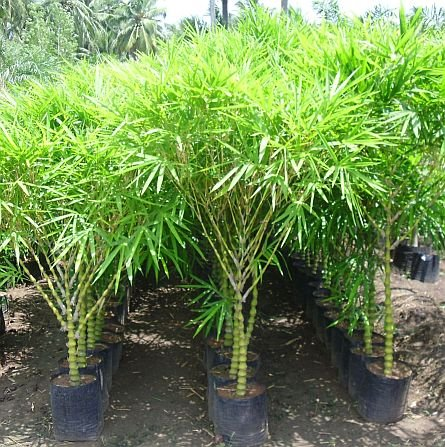 Awe Inspiring Vamsha Live Buddha Belly Bambusa T Ventricosa Bamboo Potted Plant Great For Bonsai Interior Design Ideas Oteneahmetsinanyavuzinfo