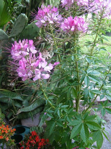 et Queen Cleome ~Beautiful Cottage Flowers Fast Growing! ()
