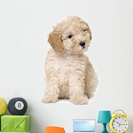 Wallmonkeys Apricot Toy Poodle Puppy Wall Decal Peel And Stick Graphic 48 In H X 44 In W Wm227054