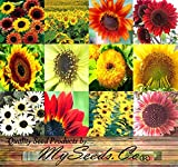 sunflower seeds flowers - BIG PACK - SUNFLOWER Sunny Sun Flower CRAZY MIX (1,000+) flower Seeds - Non-GMO Seeds By MySeeds.Co
