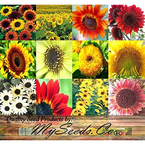 Wholesale CRAZY MIX Sunflower Seed Mixture - Over 12 Varieties of Sunflowers - Showy Flowers, Extended Blooms, Easy to Grow - By MySeeds.Co (250 Seeds - Pkt Size) hot sale