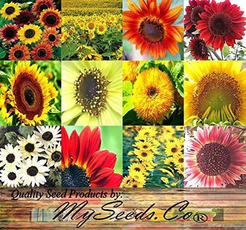 Sunflower Crazy Mix (1,000+) flower seeds