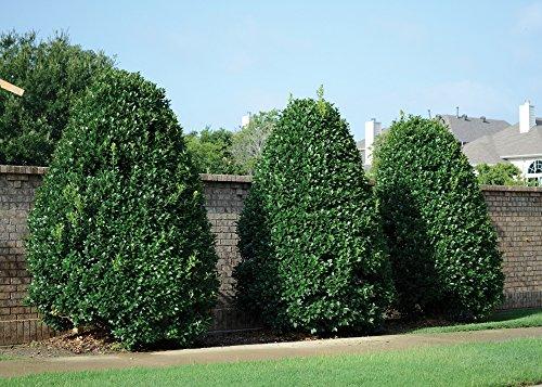 Ilex Nellie R Stevens Evergreen Holly Shrub/ Tree 3 inch pot ~Lot of 30~+ August Beauty Gardeina Stater Plant by Sandys Nursery Online by Sandys Nursery Online