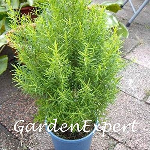 30pcs Australian Tea Tree Seeds Melaleuca Alternifolia Seeds Flower Bonsai Plant Home Garden Plant DIY (Australian Tea Plant Tree)