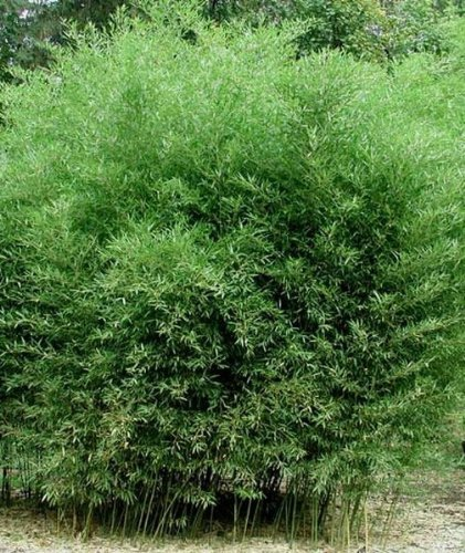 Phyllostachys Bissetii Bisset's Bamboo #1 Size Live Plant by Maya Gardens, Inc.