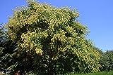 Home Comforts Laminated Poster Rain Fruits Tree Paniculata Golden Koelreuteria Poster Print 24 x 36