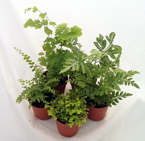 Mini-Ferns-for-TerrariumsFairy-Garden-5-Different-Plants-2-Pots
