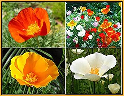 California Dreaming Mixed Poppy Seeds - .3 Oz.- Approximately 5,000 Seeds - Non GMO and Neonicotinoid Seed