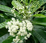 Allspice 10 Seeds ornamental evergreen produces cooking spice allspice Indoor Container or Outdoor Gardening Pimenta dioica