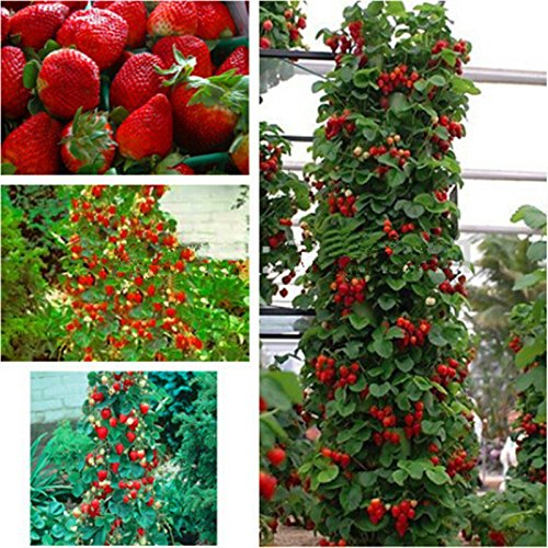Red 300 pcs Strawberry Climbing Strawberry Fruit Plant Seeds Home Garden New (Tree Strawberry)