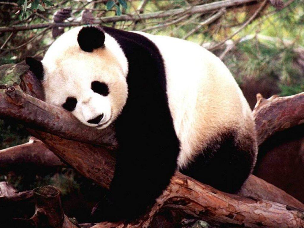 Saco de dormir Póster de Panda Diseño de decoración para el hogar Diseño de nueva imagen de vida silvestre: Amazon.es: Hogar