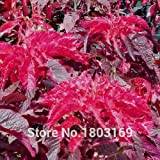 100 pcs / bag, Poinsettia seeds,Euphorbia pulcherrima,potted plants, planting seasons, flowering plants