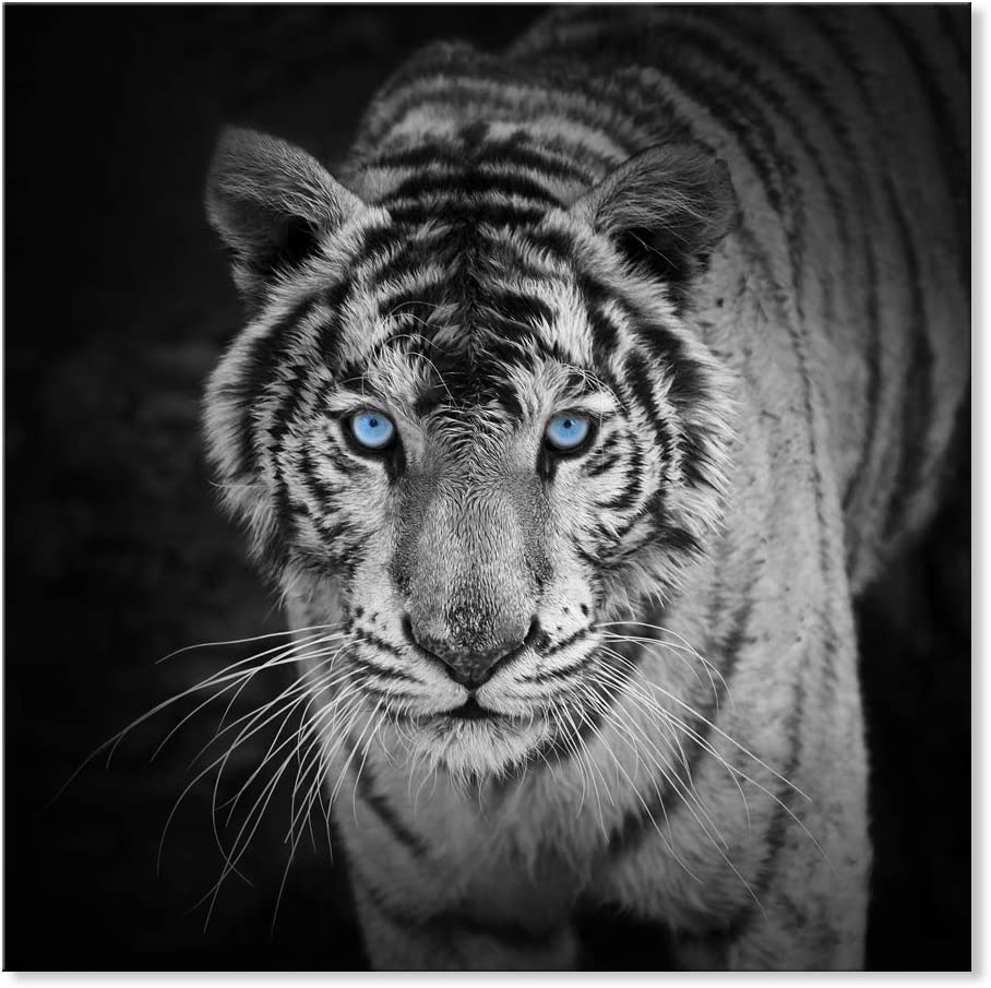 SEVEN WALL ARTS -Modern Canvas Wall Art Animal White Tiger Black White Wall Pictures Giclee Print on Canvas Stretched Living Room Bedroom Ready to Hang 24 x 24 Inch