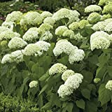 Van Zyverden Hydrangea - Annabelle - Set of 1 Root Stock