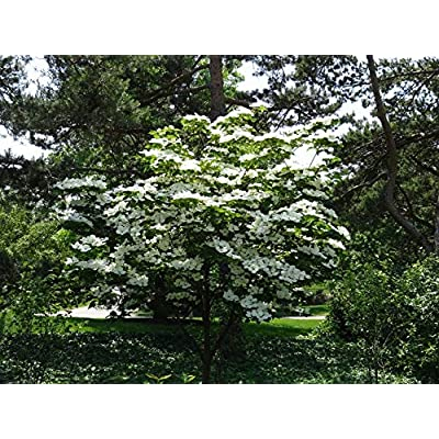 (1 Gallon Bare-Root) KOUSA Dogwood Tree - Beautiful White Blooms in Spring, in Fall Green Leaves Turn a Vibrant red/Burgundy and Edible Berries Appear. : Garden & Outdoor