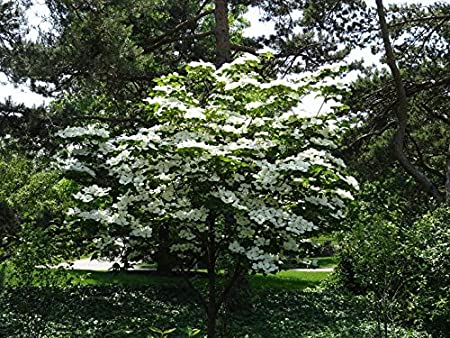 Amazon Com 1 Gallon Kousa Dogwood Tree Beautiful White