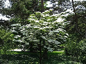Amazoncom 2 Gallon Kousa Dogwood Tree Beautiful White Blooms
