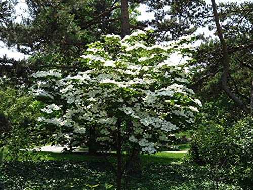 (3 Gallon) KOUSA DOGWOOD Tree - beautiful white blooms in Spring, in Fall green leaves turn a vibrant red/burgundy and edible berries appear.