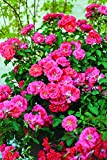 Coral Drift Rose, 1 Bare Root Plant
