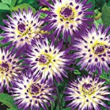 Cactus Dahlia Veritable (Tuber) Colorful Starburst, Great Cut Flowers - 1 Tuber