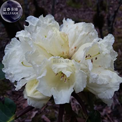 Amazon white yunnan lapland rosebay rhododendron lapponicum white yunnan lapland rosebay rhododendron lapponicum tree flower seeds 50 seeds white flowers big mightylinksfo